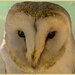 Barn Owl by carolmw