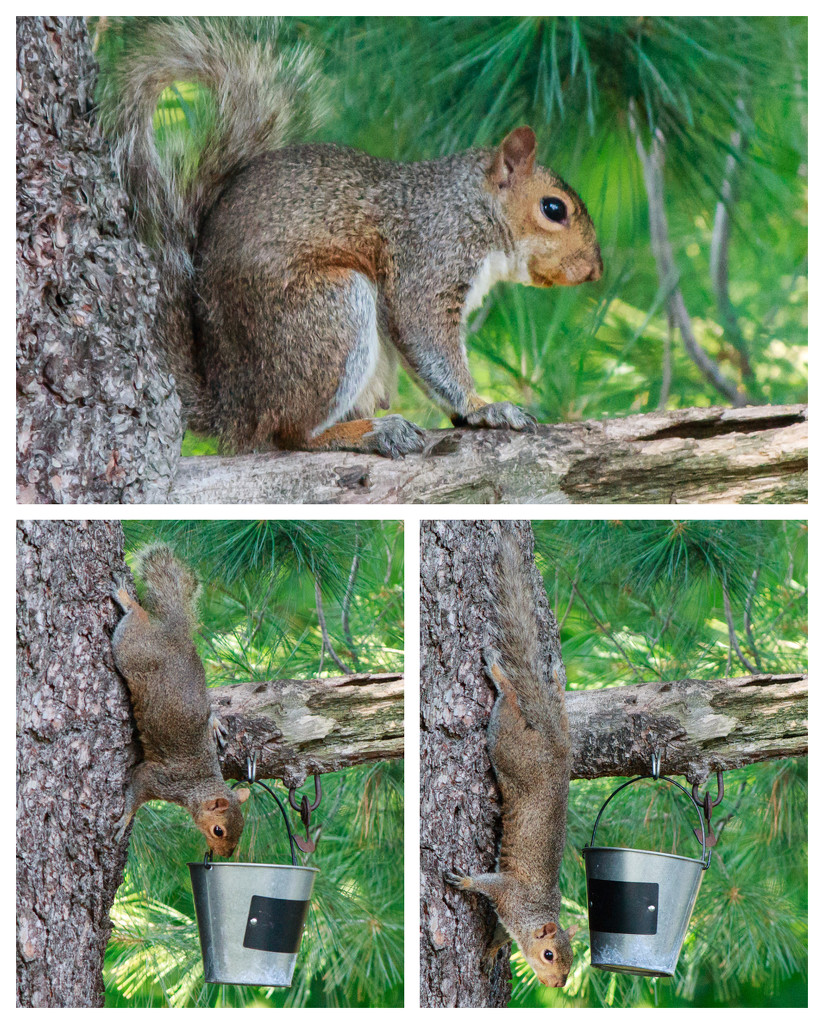 Squirrel x3 by batfish