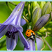Ladybird And Agapanthus by carolmw