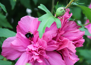 26th Jul 2018 - Pink flower with bee