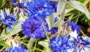 26th Jul 2018 - Cornflower blue