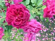 26th Jul 2018 - More Roses!