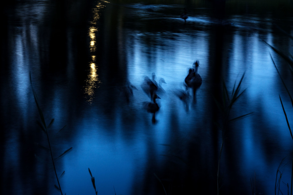 Ghostly Geese by farmreporter