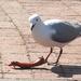Sea Gull eating Spare Rib