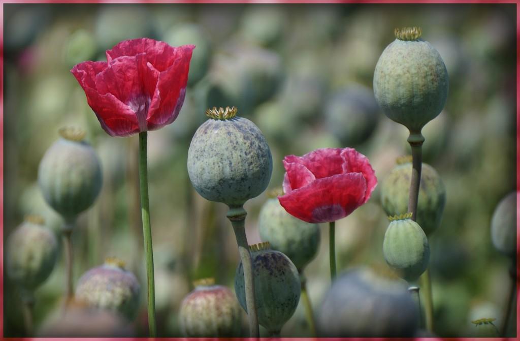 poppies by gijsje
