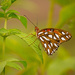 Side View of the Gulf Fritillary Butterfly! by rickster549