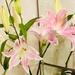 Oriental lilies by veengupta