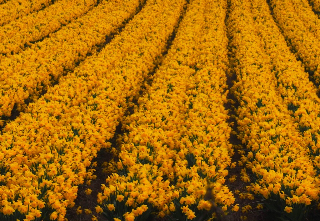 Acres of daffodils,taken when driving from Edinburg to Inveness  by Dawn