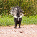 little wet skunk by aecasey
