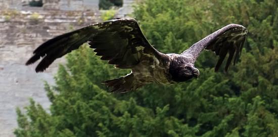 Unknown bird by hobgoblin