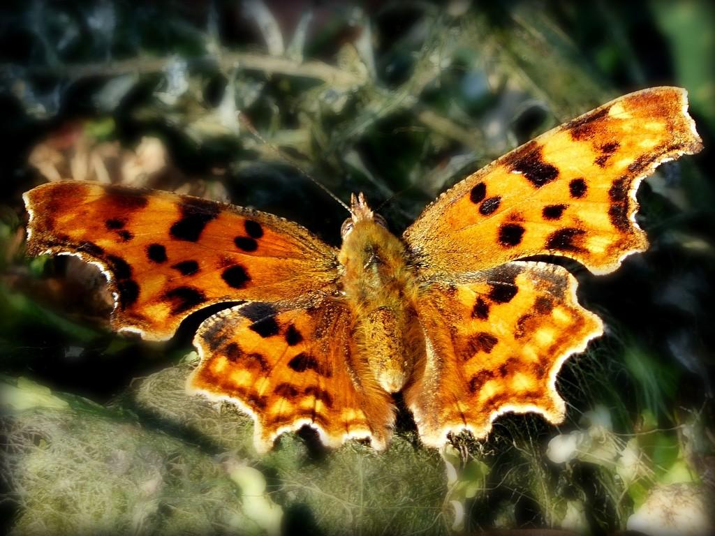 Comma butterfly by judithdeacon