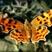 Comma butterfly by judithdeacon