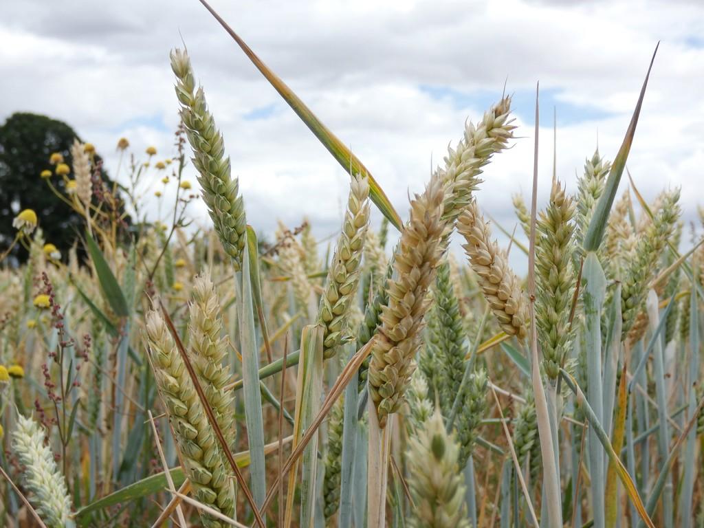 Wheat by julienne1