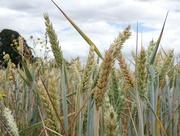 27th Jul 2018 - Wheat