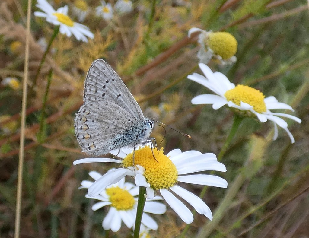 Common Blue on Chamomile by julienne1