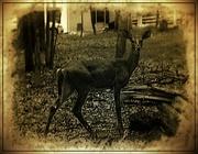 28th Jul 2018 - Doe a Deer