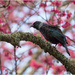Tui In Cherry tree 1