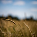 Wheat by bill_fe