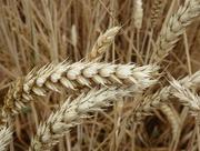 27th Jul 2018 - Field of Wheat