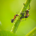 Ants and aphids by haskar
