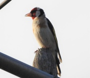 26th Jul 2018 - Goldfinch