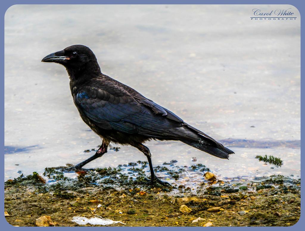 Crow In A Hurry by carolmw