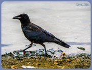 30th Jul 2018 - Crow In A Hurry