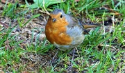 30th Jul 2018 - Friendly Robin