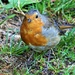 Friendly Robin by carole_sandford
