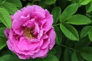 30th Jul 2018 - Pink rose