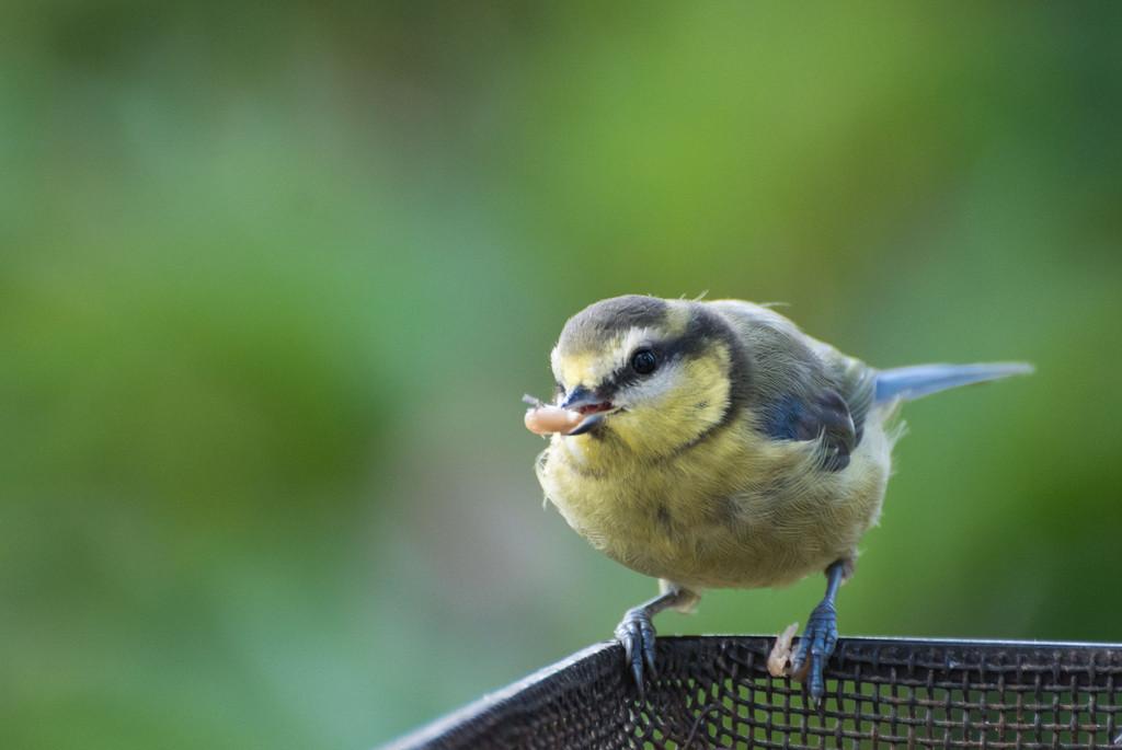 Hangry bird by rumpelstiltskin