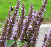 30th Jul 2018 - Three bees and an ailanthus webworm moth