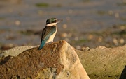 17th Jul 2018 - Kingfisher on a rock