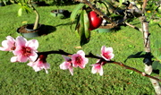 1st Aug 2018 - Necterine Blossoms