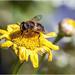 Honeybee by pcoulson