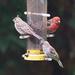 House Finch Feeder