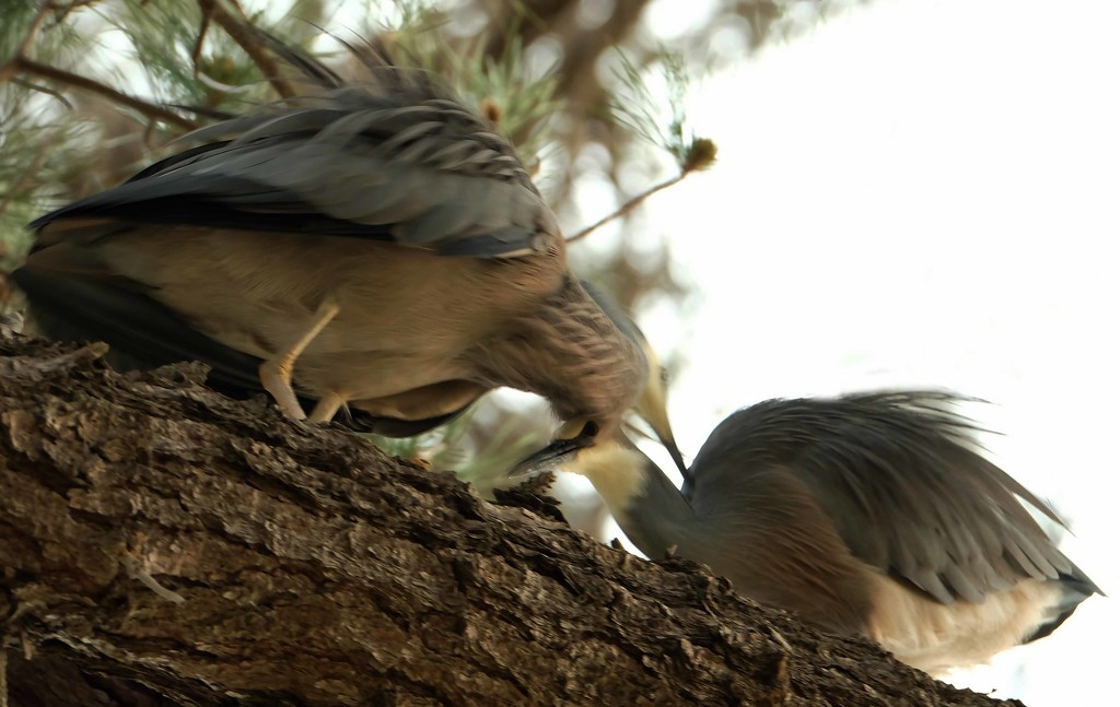 Meet and greet is tricky in a pine tree by maureenpp