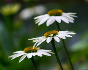 26th Jul 2018 - Coneflowers