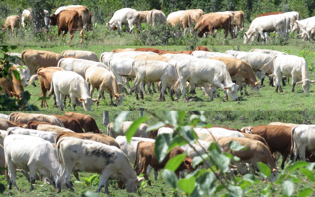 Rows and rows of cattle by bruni
