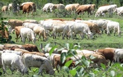 1st Aug 2018 - Rows and rows of cattle
