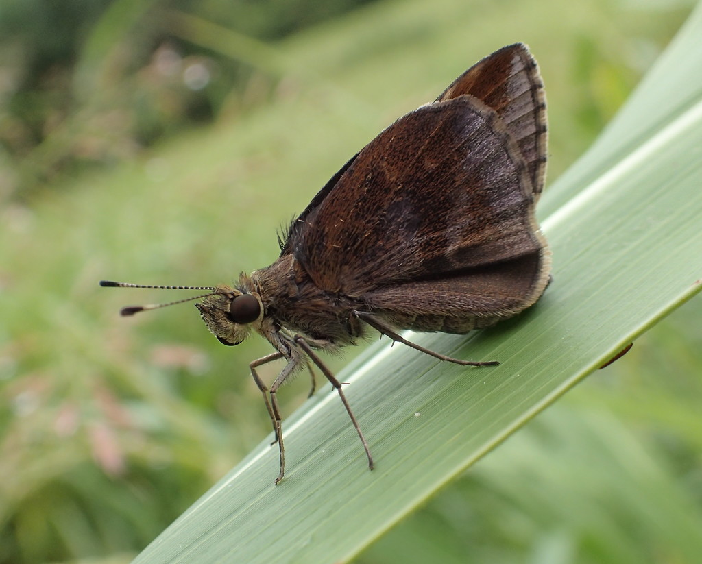 Duskywing Butterfly by cjwhite