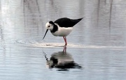 2nd Aug 2018 - Young Pied stilt feeding