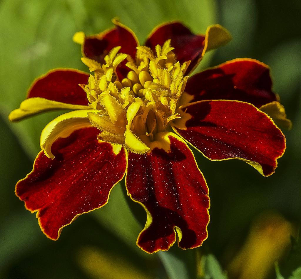 Marigold by tonygig