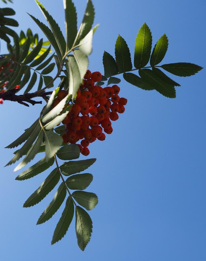 Rowan tree by jacqbb