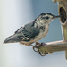 Nuthatch by joansmor