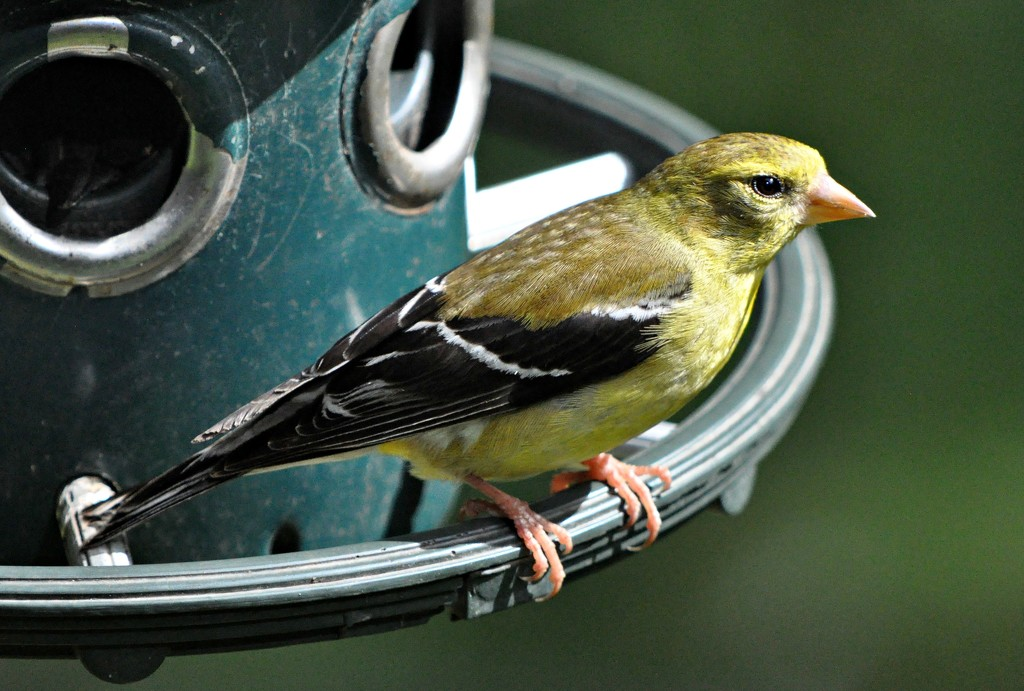 Yellow finch - female by sailingmusic