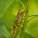 Lubber Grasshopper Getting Situated! by rickster549