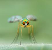 1st Aug 2018 - long-legged fly
