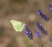 2nd Aug 2018 - Brimstone and lavender