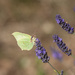 Brimstone and lavender